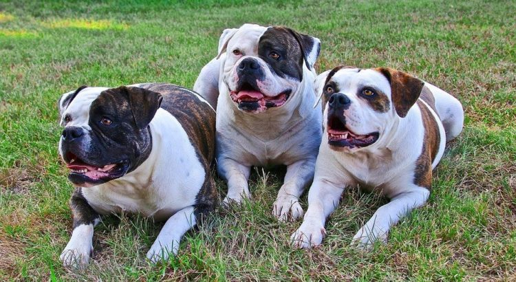 best food for english bulldog the best dog food for american bulldogs 2018 high protein 1277