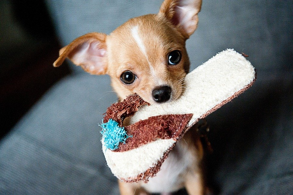 healthy dog food for Chihuahuas
