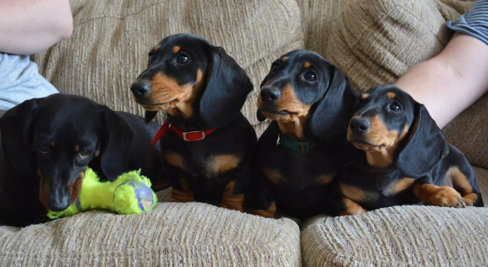 healthy dachshunds