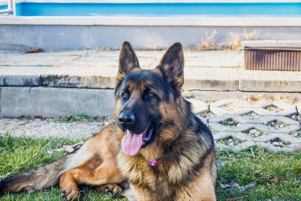 dry dog food for german shepherd