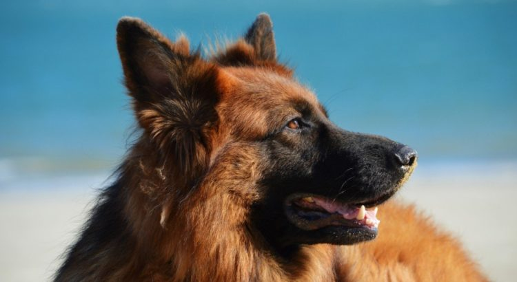 best dog food for german sheperd