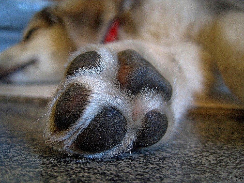 hyperkeratosis dog