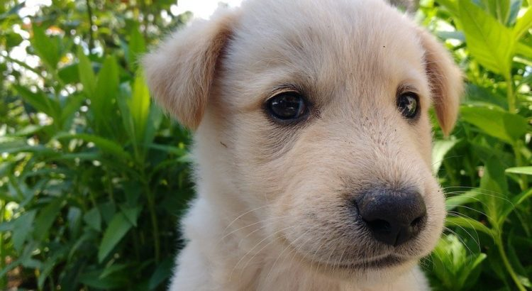 differences of puppy and adult dog food