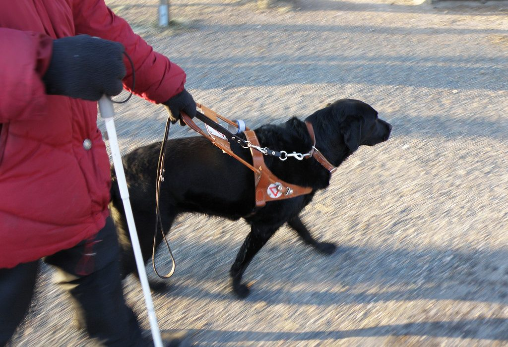 walking dog with harness on